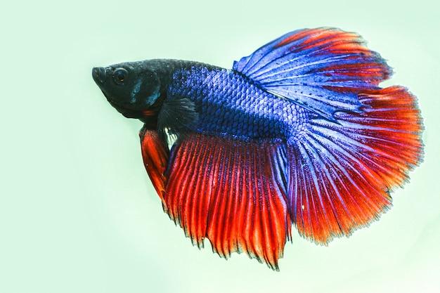 Close-up van de betta-vis Premium Foto
