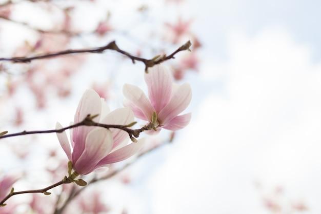 Close-up van de bloesem van de magnoliaboom met vage achtergrond en warme zonneschijn Premium Foto
