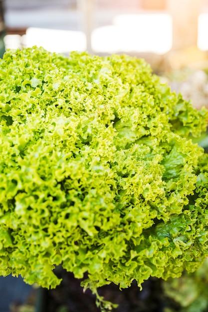 Close-up van de groene organische boerenkool verlaat groente Gratis Foto