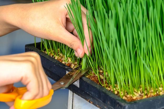 Close-up van de hand snijden tarwe gras met een schaar voor het maken van tarwe grassap Premium Foto