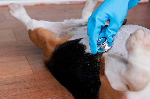 Close-up van de hand van een dierenarts die een brakhond onderzoekt Premium Foto