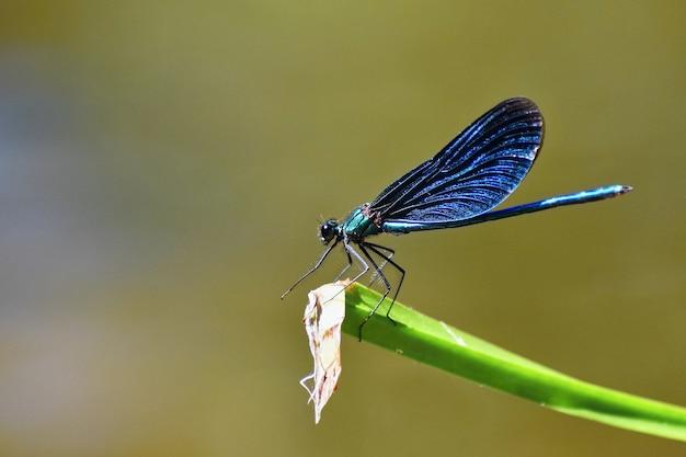 Close-up van dragonfly calopteryx virgo Gratis Foto