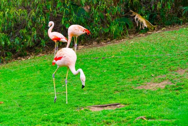 Close-up van drie prachtige flamingo's lopen op het gras in het park Gratis Foto