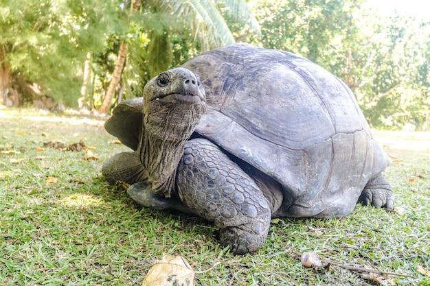 Close-up van een aldabra-reuzenschildpad op het gazon dat door bomen onder zonlicht wordt omringd Gratis Foto