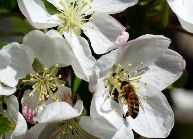 Close-up van een bij die nectar van een witte bloem van de kersenbloesem op een zonnige dag verzamelt Gratis Foto