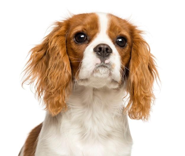 Close-up van een cavalier king charles spaniel-puppy, dat op wit wordt geïsoleerd Premium Foto