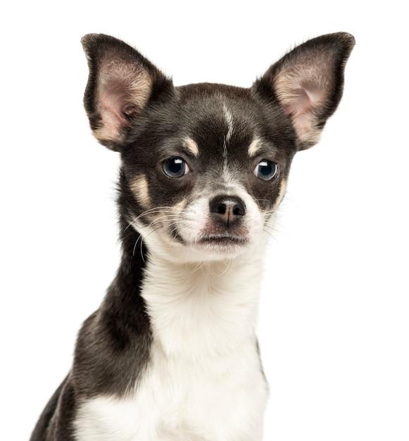 Close-up van een chihuahua die thacamera bekijkt die op wit wordt geïsoleerd Premium Foto