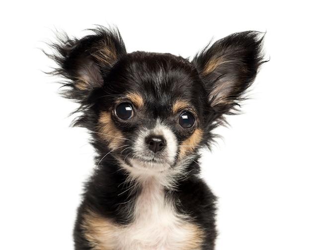 Close-up van een chihuahua-puppy, dat op wit wordt geïsoleerd Premium Foto