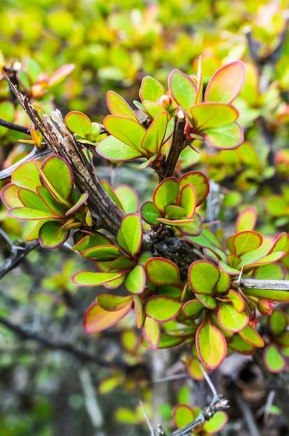 Close-up van een doornige plant en bladeren met rode rand Gratis Foto