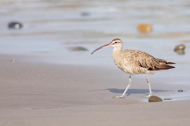 Close-up van een jonge wulpvogel met zijn lange, slanke bek, die op de kust loopt Gratis Foto