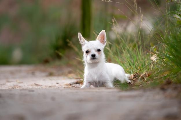 Close-up van een leuke witte chihuahuazitting ter plaatse wordt geschoten die Gratis Foto