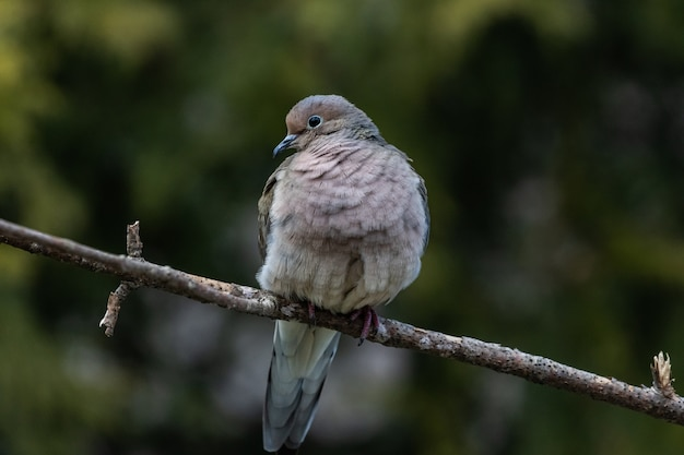 Close-up van een mooie rouwende duif die op een takje rust Gratis Foto