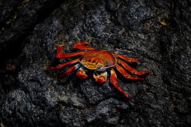 Close-up van een rode krab met roze ogen die op een rots rusten Gratis Foto