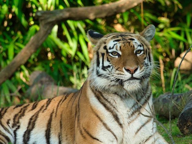Close-up van een siberische tijger die op de grond ligt omringd door groen onder zonlicht Gratis Foto