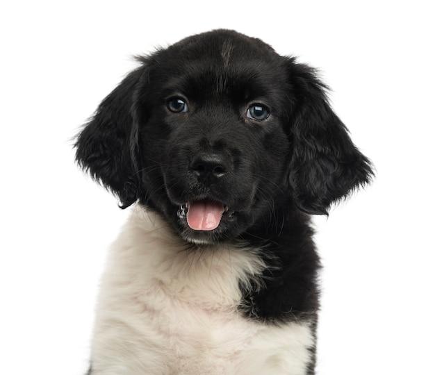 Close-up van een stabij puppy hijgend kijkend naar de camera geïsoleerd op wit Premium Foto