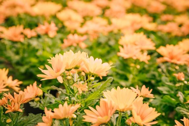 Close-up van gele chrysanthemum bloemen in bloei Gratis Foto