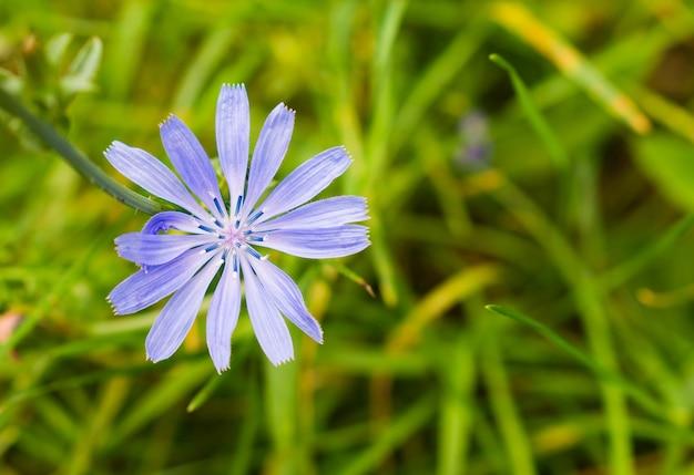Close-up van gemeenschappelijke cichorei in een tuin Gratis Foto