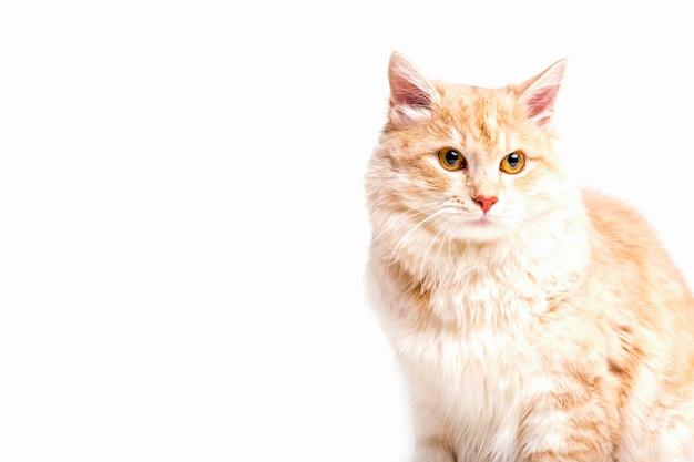 Close-up van gestreepte katkat die weg over witte achtergrond kijken Gratis Foto