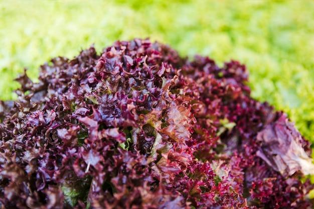 Close-up van gezonde rauwe rode boerenkool in de markt Gratis Foto