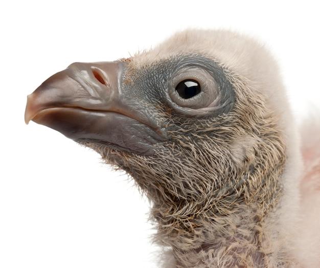 Close-up van griffon vulture gyps-fulvus voor witte achtergrond Premium Foto