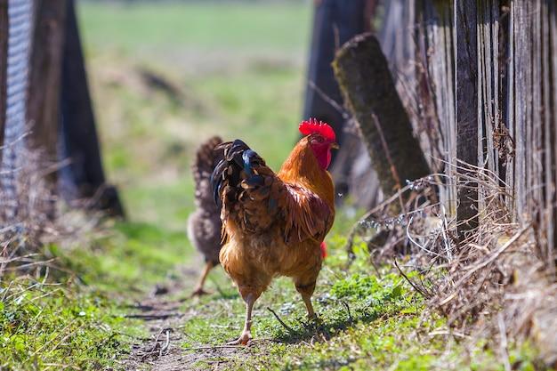 Close-up van grote mooie rode goed gevoede haan die trots troep van kippen bewaakt die in groen gras op heldere zonnige dag voeden. landbouw van gevogelte, kippenvlees en eieren concept. Premium Foto