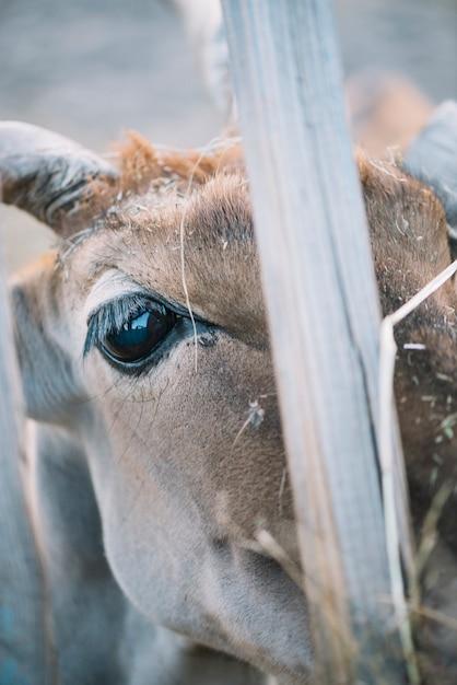 Close-up van het oog van de koe Gratis Foto