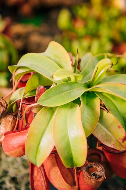 Close-up van insectenetende plant nepenthes Gratis Foto