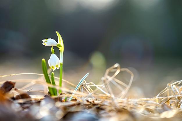 Close-up van kleine verse sneeuwklokjes bloemen groeien onder droge bladeren in het bos Premium Foto
