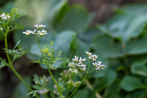 Close-up van korianderbloemen op de installatie op een landbouwbedrijfgebied Premium Foto