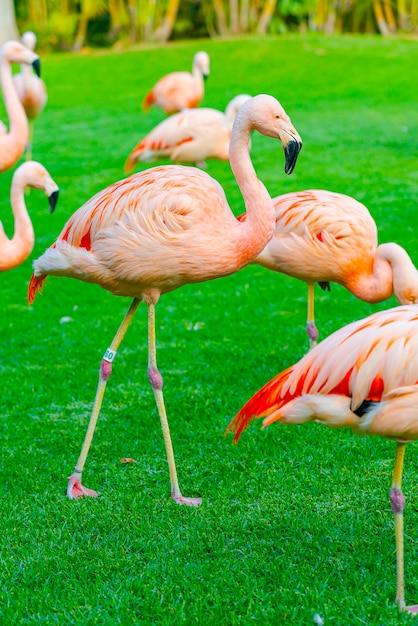 Close-up van mooie flamingogroep die op het gras in het park lopen Gratis Foto