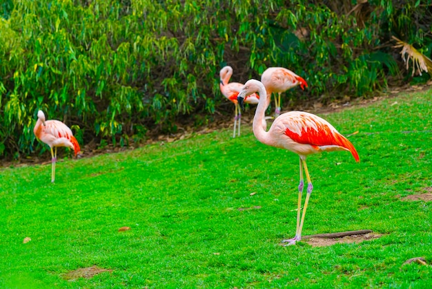 Close-up van mooie flamingogroep die zich op het gras in het park bevinden Gratis Foto