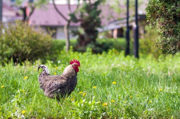 Close-up van mooie grote volwassen grijze kip staande in hoog vers gras op heldere zonnige wazig groene zomer achtergrond. kippenhouderij, ecologisch schoon gezond voedsel, vlees en eierenproductieconcept. Premium Foto