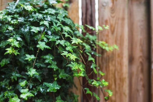 Close-up van natte groene klimopbladeren Gratis Foto