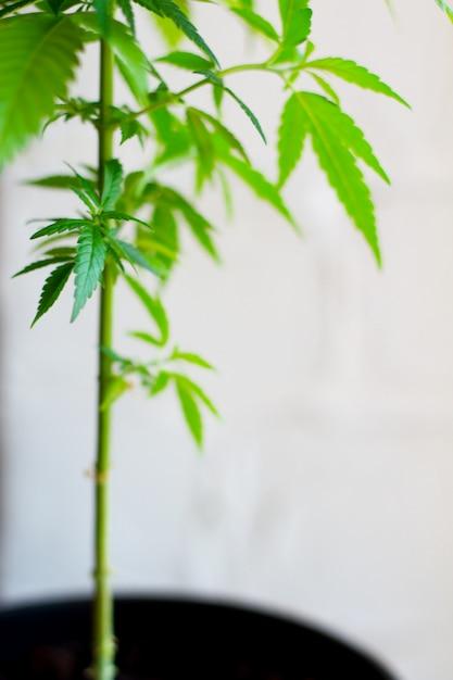 Close-up van plant van marihuana, onkruid of cannabis in potten thuis op een witte console tegen een witte muur Premium Foto