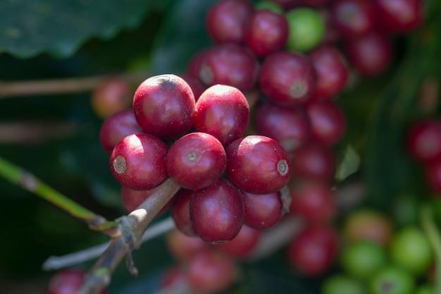 Close-up van rijpe koffiebonen op de boom Premium Foto