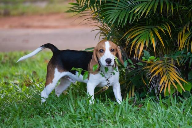 Close-up van schattige jonge beagle spelen in veld Premium Foto