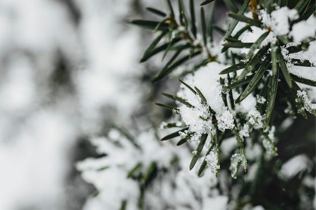 Close-up van sparren bedekt met sneeuw Gratis Foto