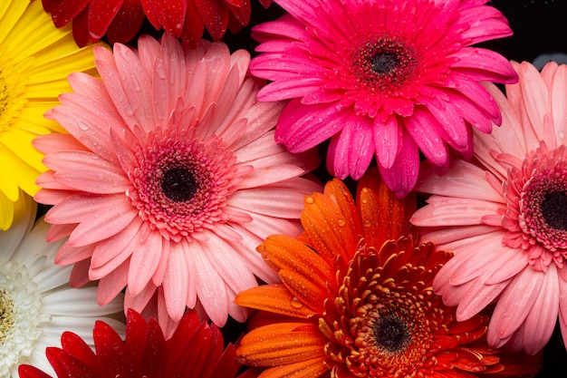 Close-up van veelkleurige gerberamadeliefjes Premium Foto