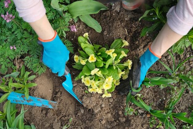 Close-up van vrouwenhanden die gele primrosebloemen in tuin planten Premium Foto