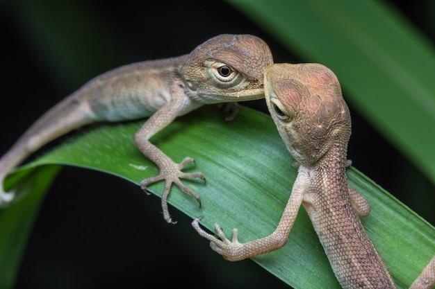 Close-upkameleon in thailand Premium Foto
