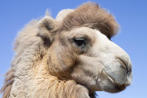 Close-upportret van kameelhoofd op blauwe hemel backround Premium Foto