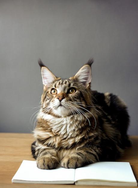 Close-upportret van maine coon-kattenzitting op een houten lijst en het lezen van een boek Premium Foto