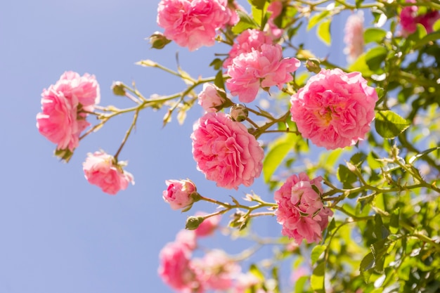 Close-upreeks roze rozen openlucht Gratis Foto