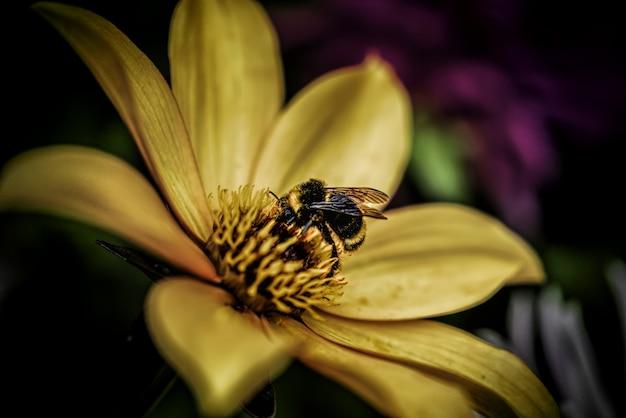 Close-upschot van een honingbij die nectar op een geel-petaled bloem verzamelt - bloeiend aardconcept Gratis Foto