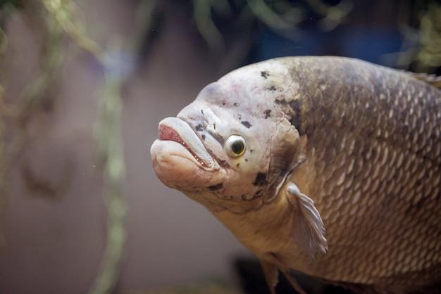 Close-upschot van een karpervis onderwater Gratis Foto