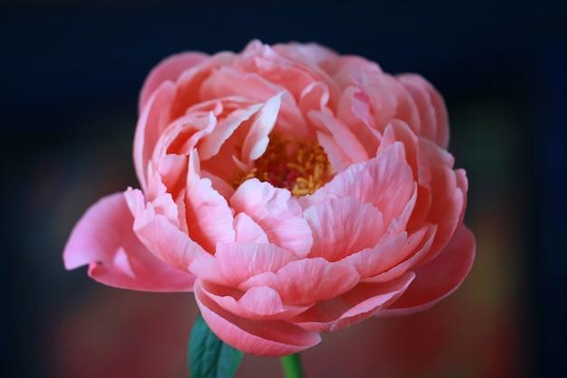 Close-upschot van een mooie roze-petaled pioenbloem op een vage achtergrond Gratis Foto