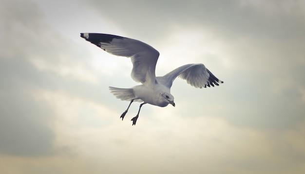 Close-upschot van een ringsnavelmeeuw die overdag vliegen Gratis Foto
