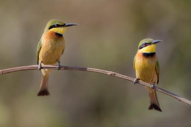 Close-upschot van twee bijenetervogel op een tak Gratis Foto
