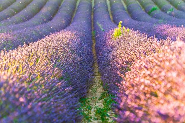 Close-upstruiken van purpere lavendelbloemen in de zomer dichtbij valensole, de provence in frankrijk Premium Foto