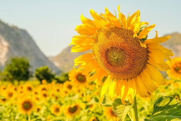 Close-upzonnebloem, natuurlijke achtergrond. Premium Foto